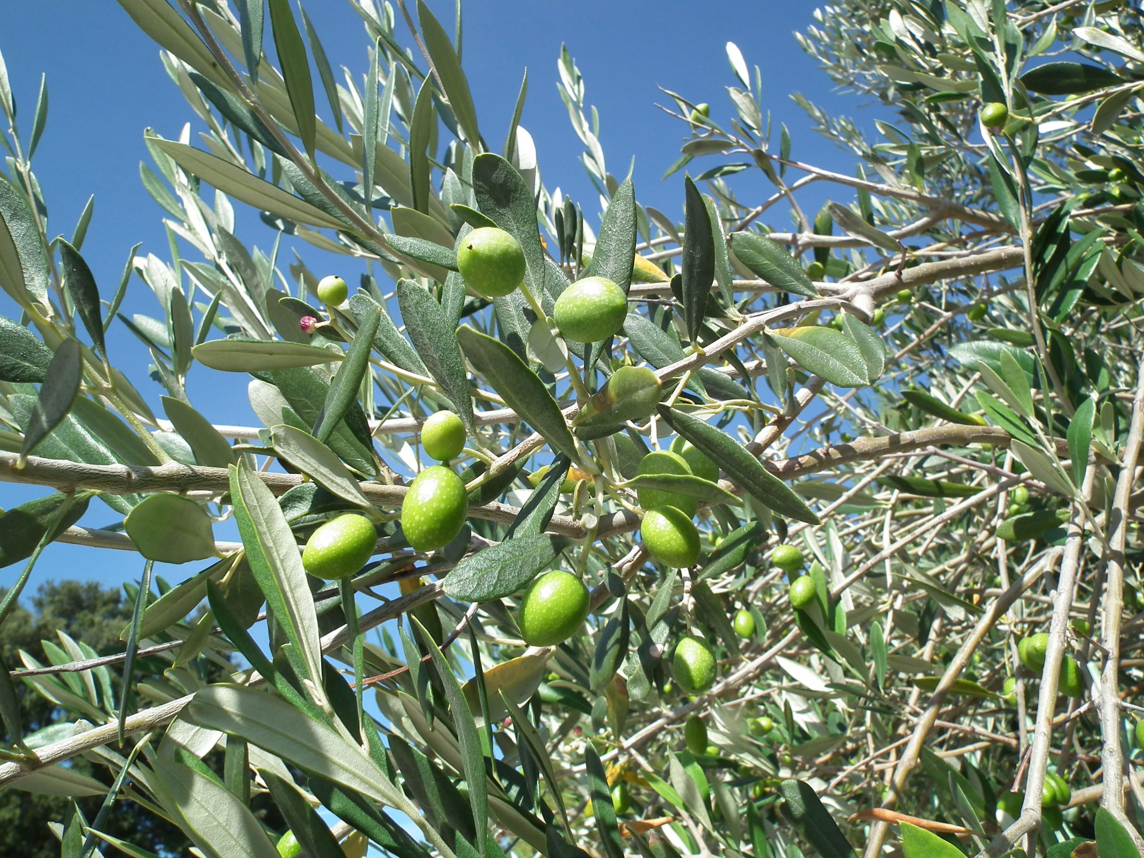Pepiniere nice 06 p pini re et jardinerie nice vente plantes arbres et arbustes - Engrais pour olivier ...